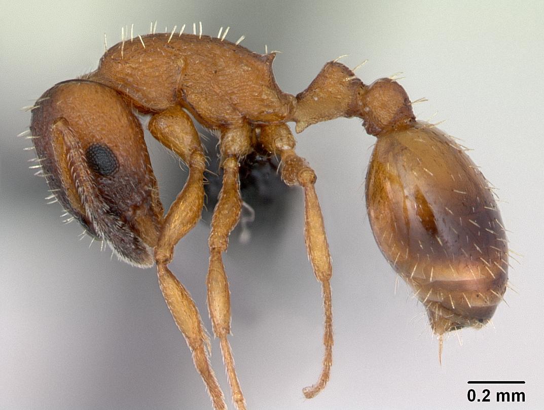 Temnothorax albipennis, photo © 2017 California Academy of Sciences