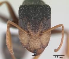 Camponotus personatus