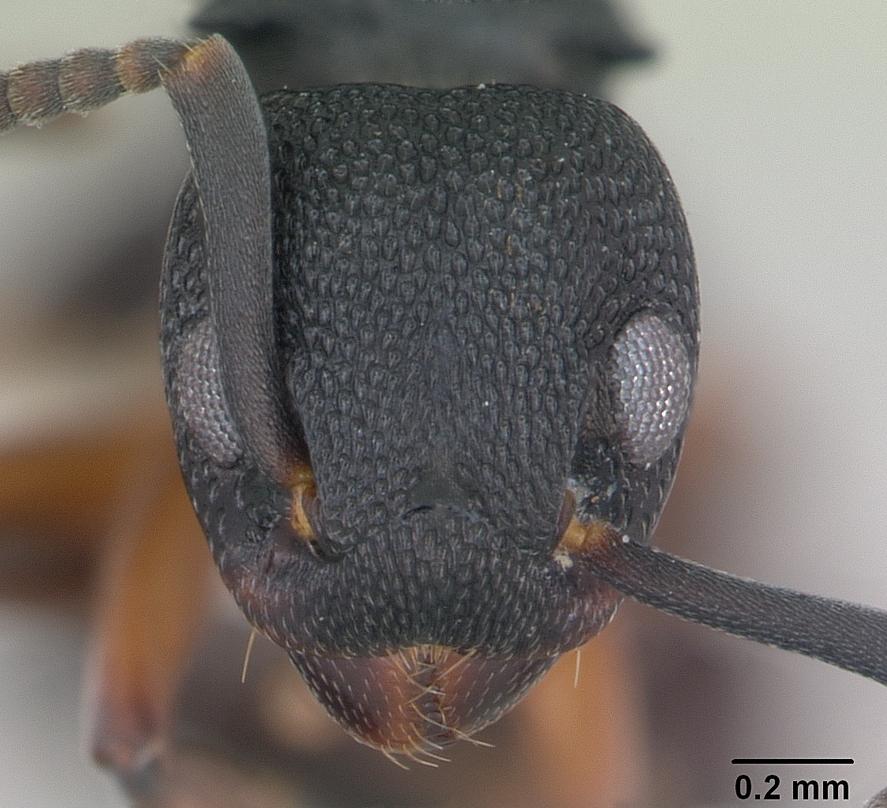 Image of Dolichoderus lamellosus