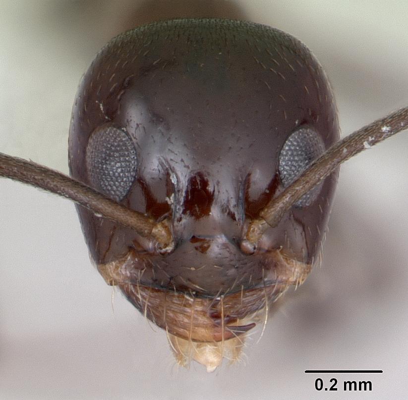 Image of Dorymyrmex bituber