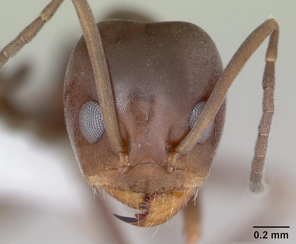 Image of Dorymyrmex brunneus