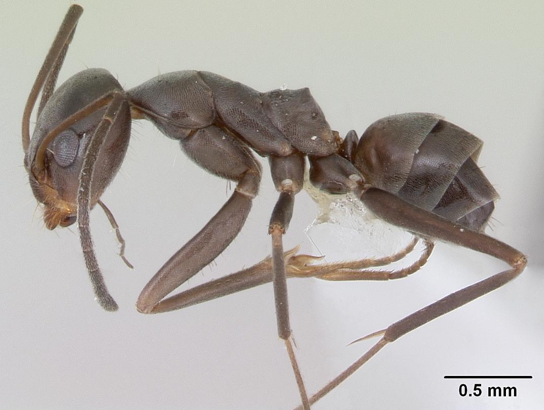Image of Dorymyrmex jheringi