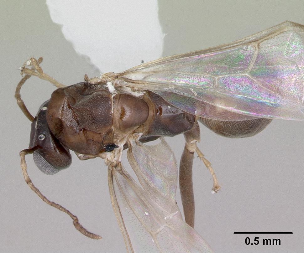 Dorymyrmex spurius image