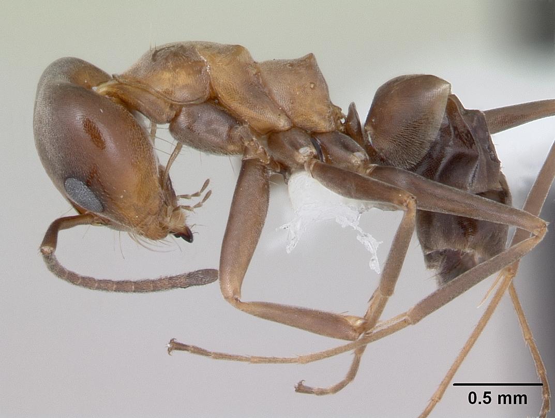 Image of Dorymyrmex spurius