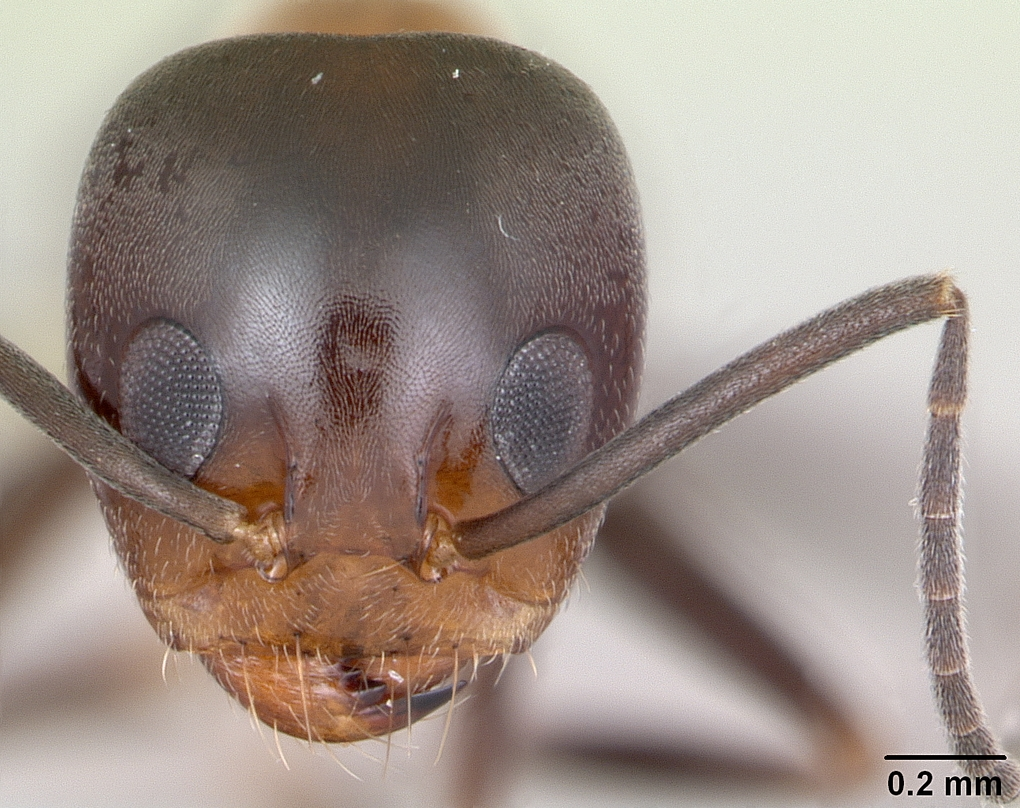 Image of Dorymyrmex thoracicus