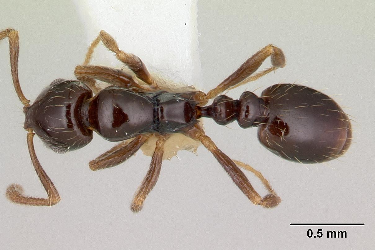 Image of Megalomyrmex drifti