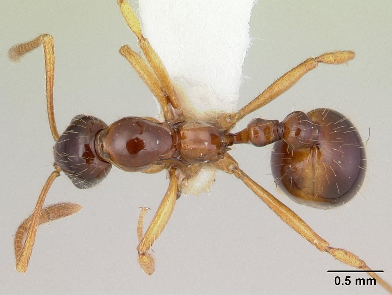 Image of Megalomyrmex silvestrii