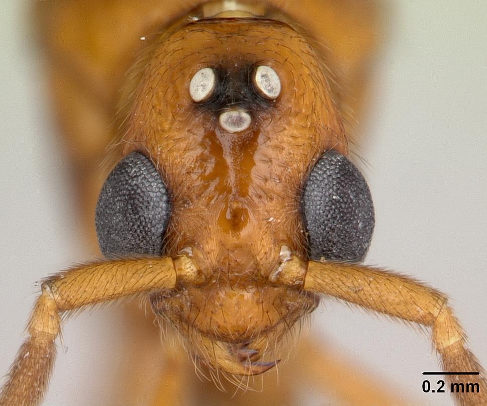 Image of Megalomyrmex glaesarius