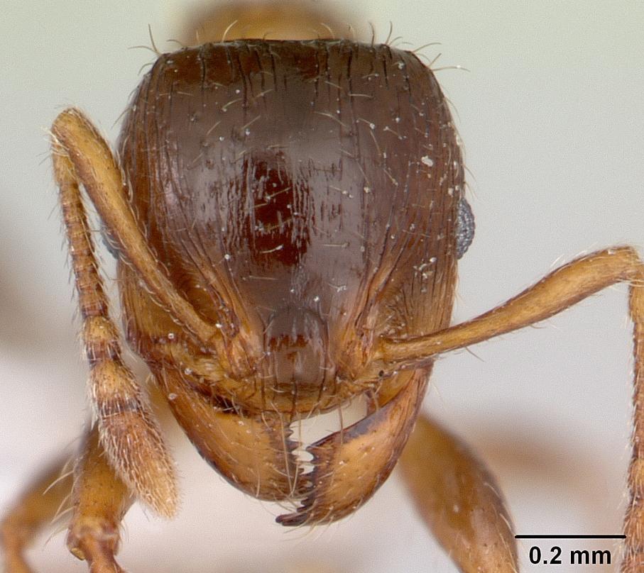 Image of Pheidole aberrans