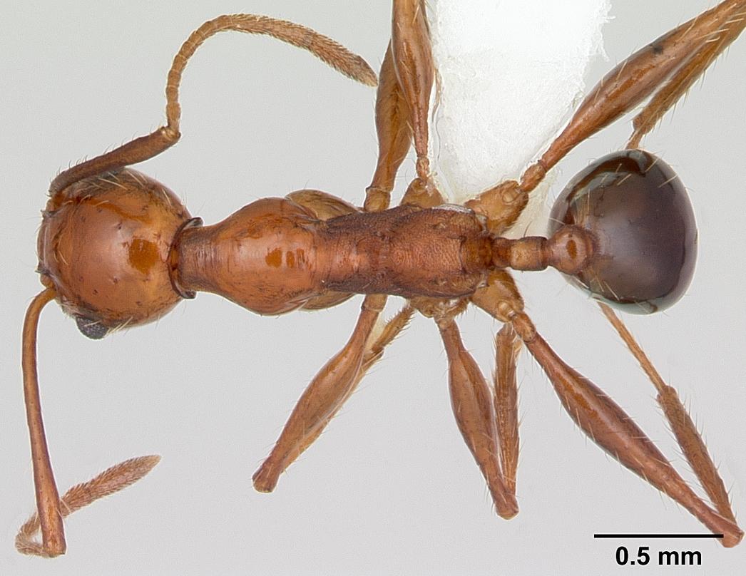 Image of Pheidole bergi