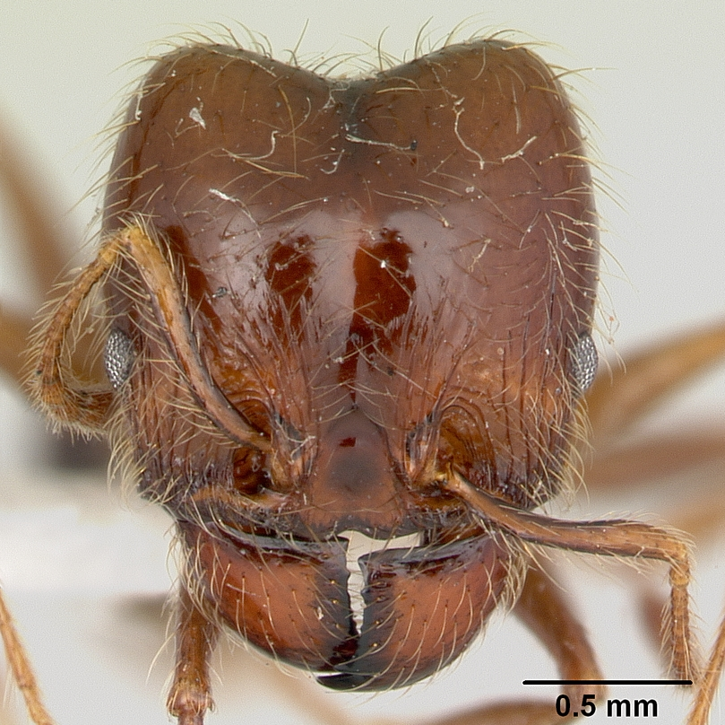 Image of Pheidole gertrudae