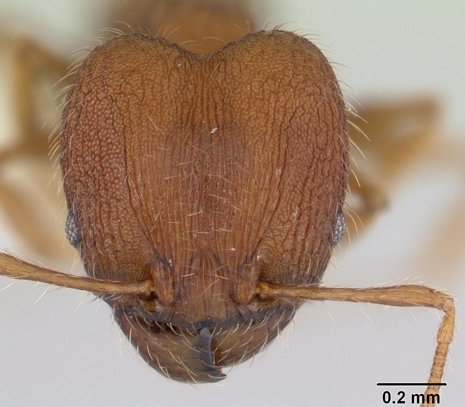 Image of Pheidole lignicola