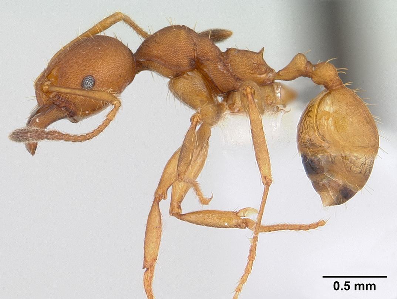 Image of Pheidole tristis