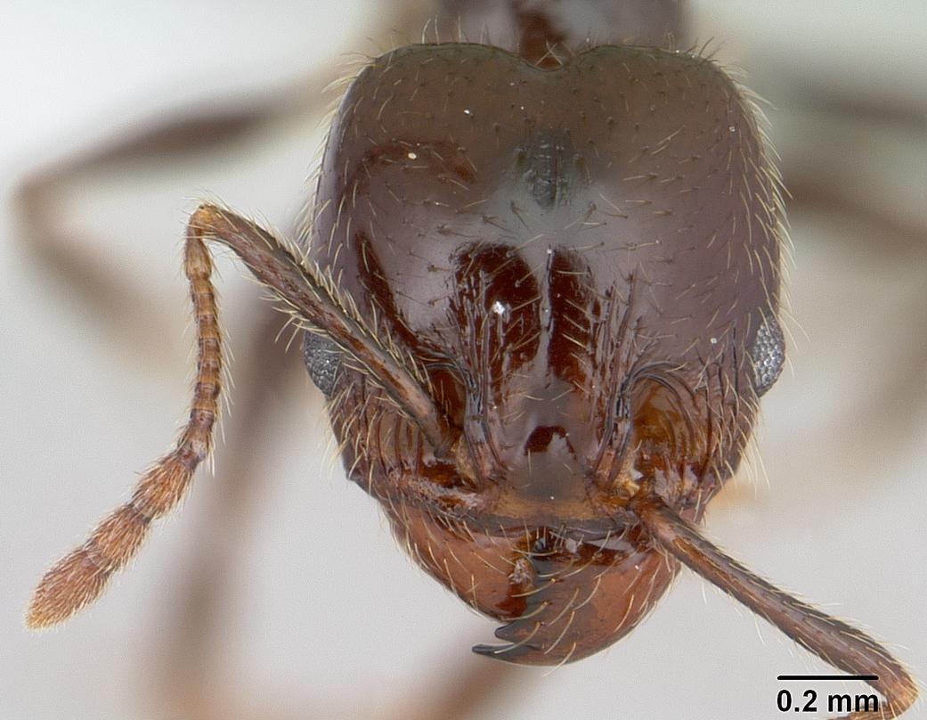 Image of Pheidole vafra