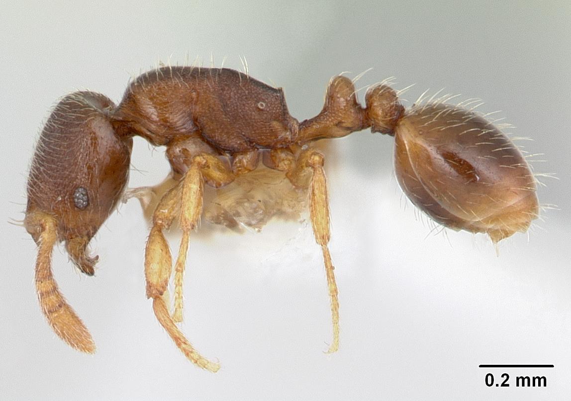 Image of Oxyepoecus reticulatus