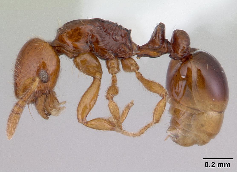 Image of Oxyepoecus vezenyii