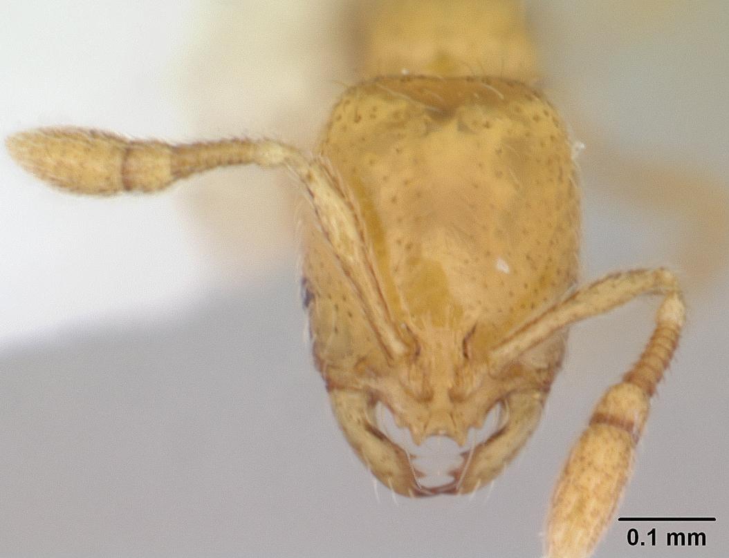 Image of Solenopsis sulfurea