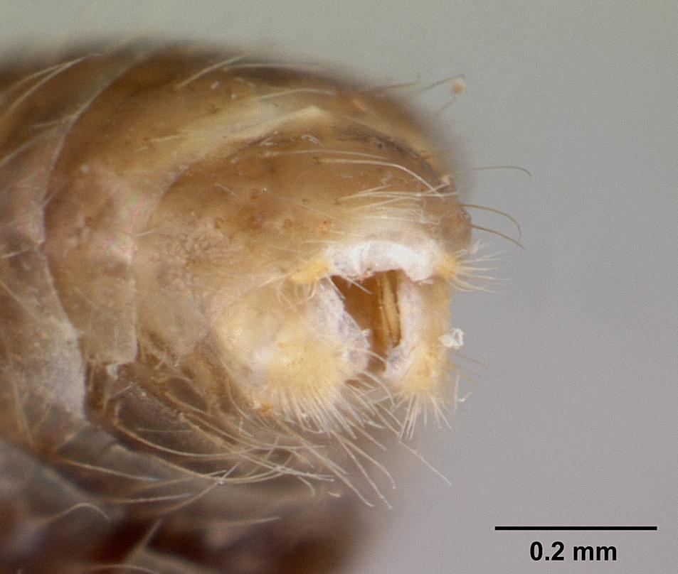Image of Solenopsis daguerrei