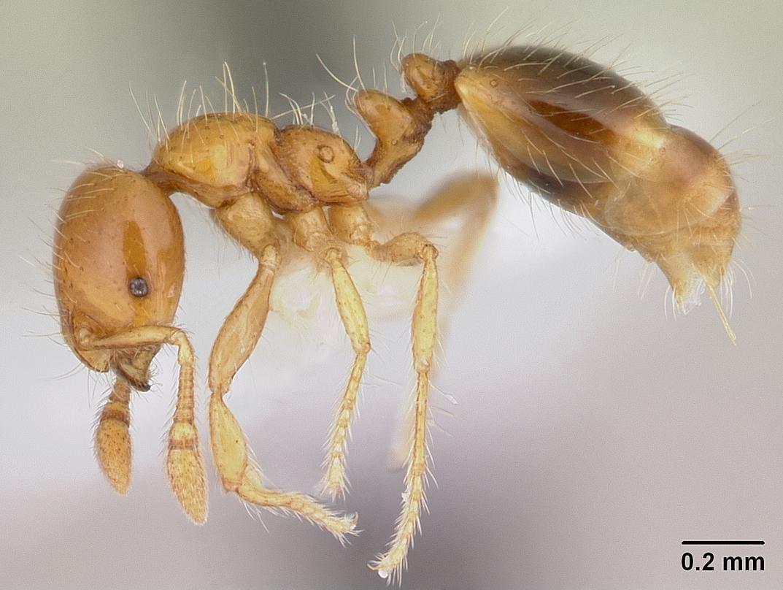 Image of Solenopsis iheringi