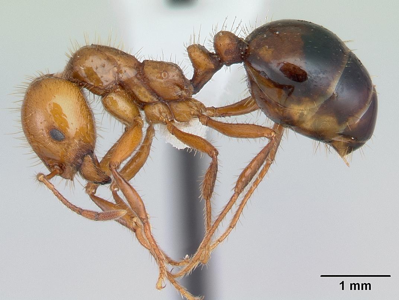 Image of Solenopsis macdonaghi