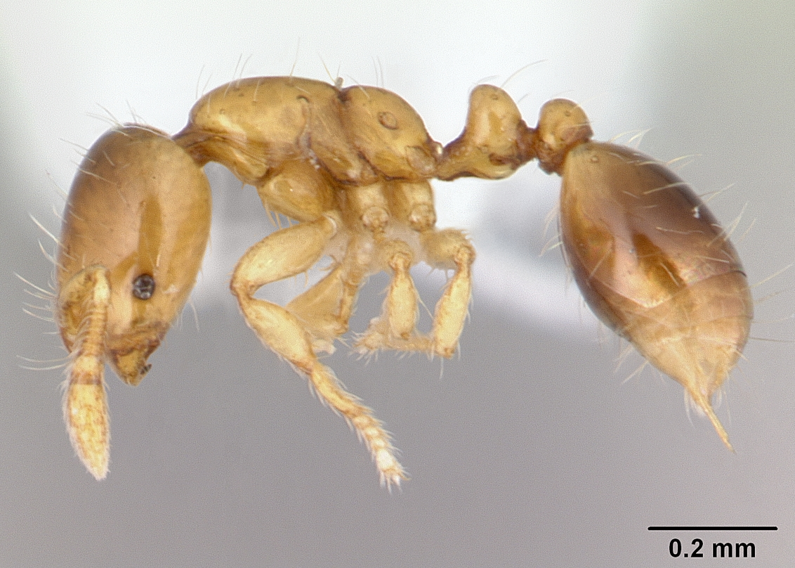 Image of Solenopsis brevicornis