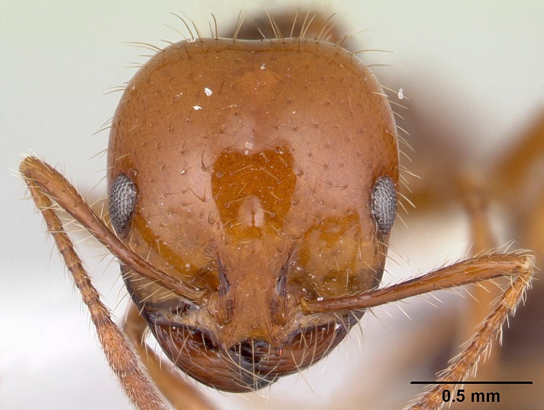 Image of Solenopsis megergates