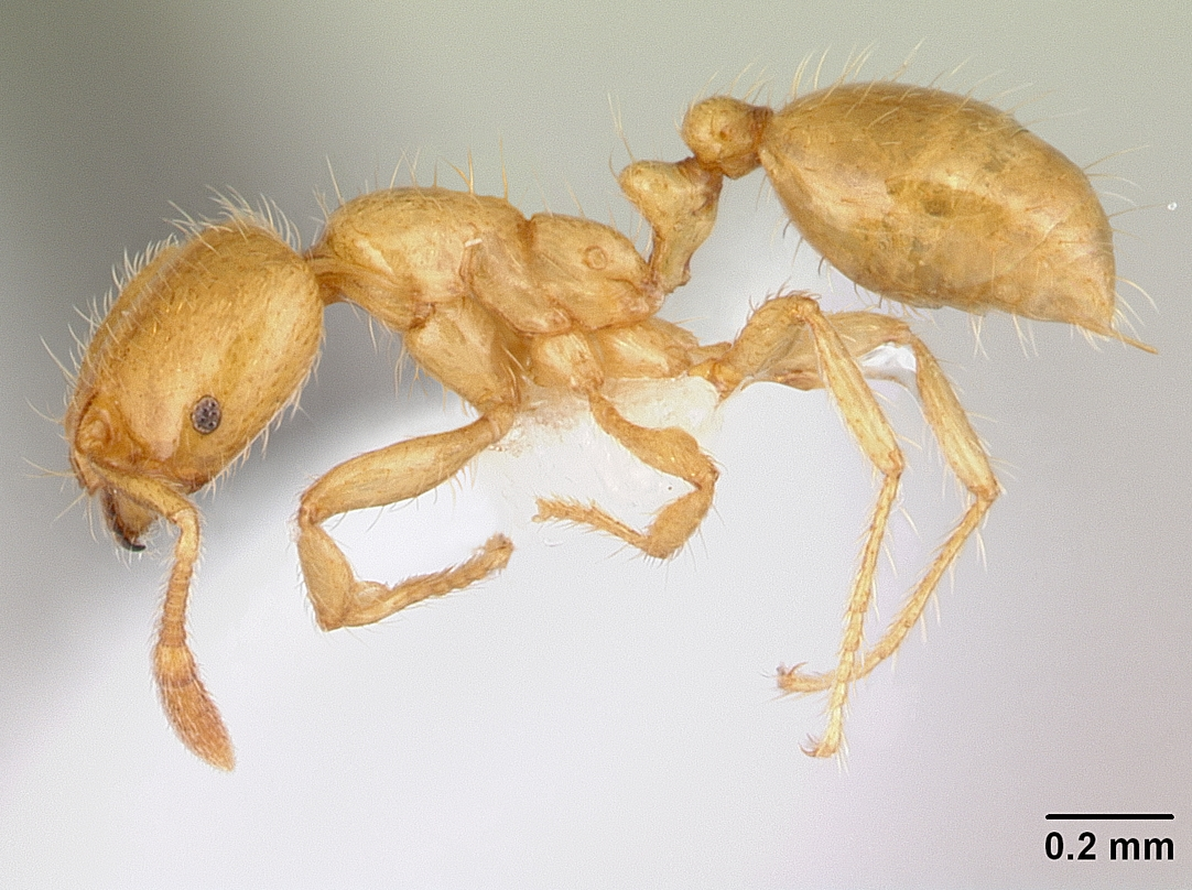 Image of Solenopsis decipiens