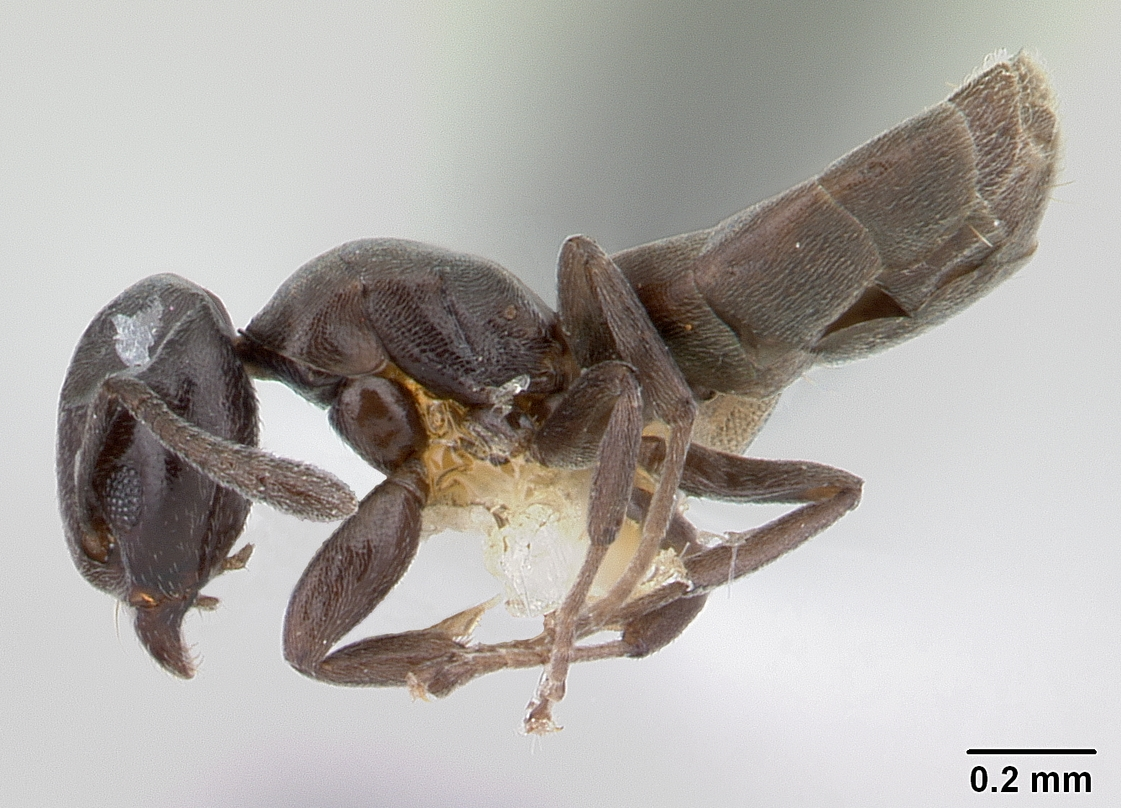 Image of Tapinoma schultzei