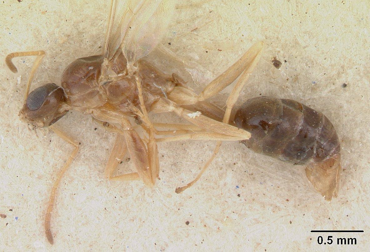 Image of Tapinoma modestum