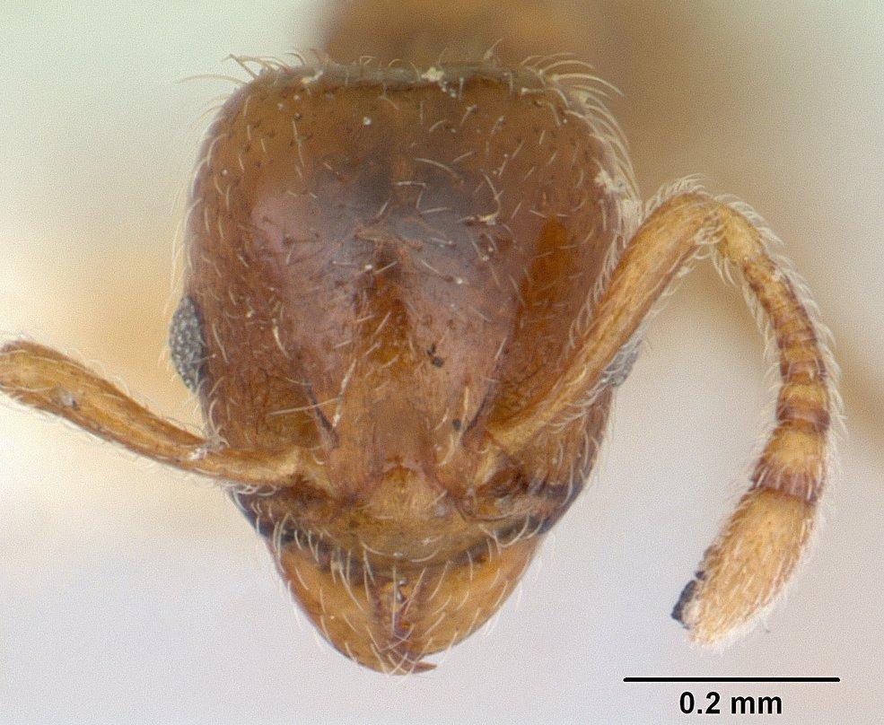 Image of Allomerus vogeli