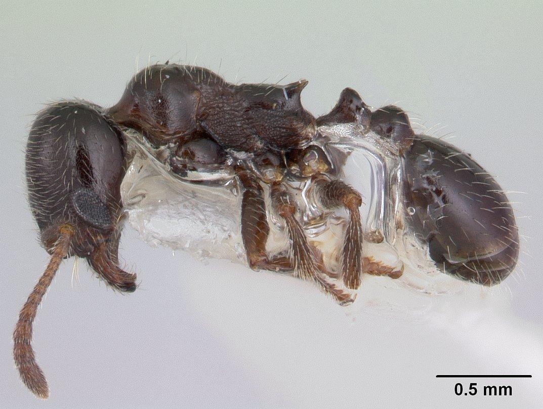 Image of Goniomma kugleri