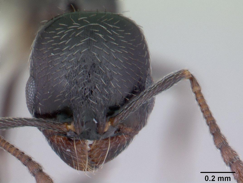 Image of Oxyopomyrmex insularis