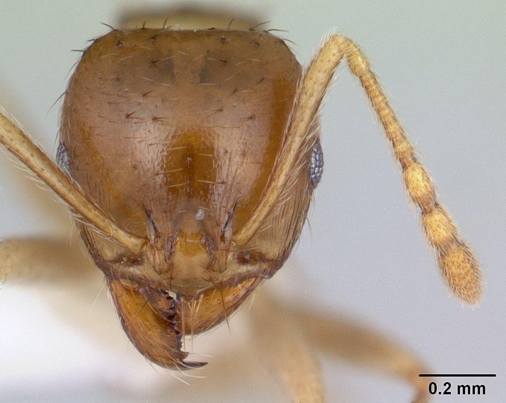 Image of Lophomyrmex striatulus