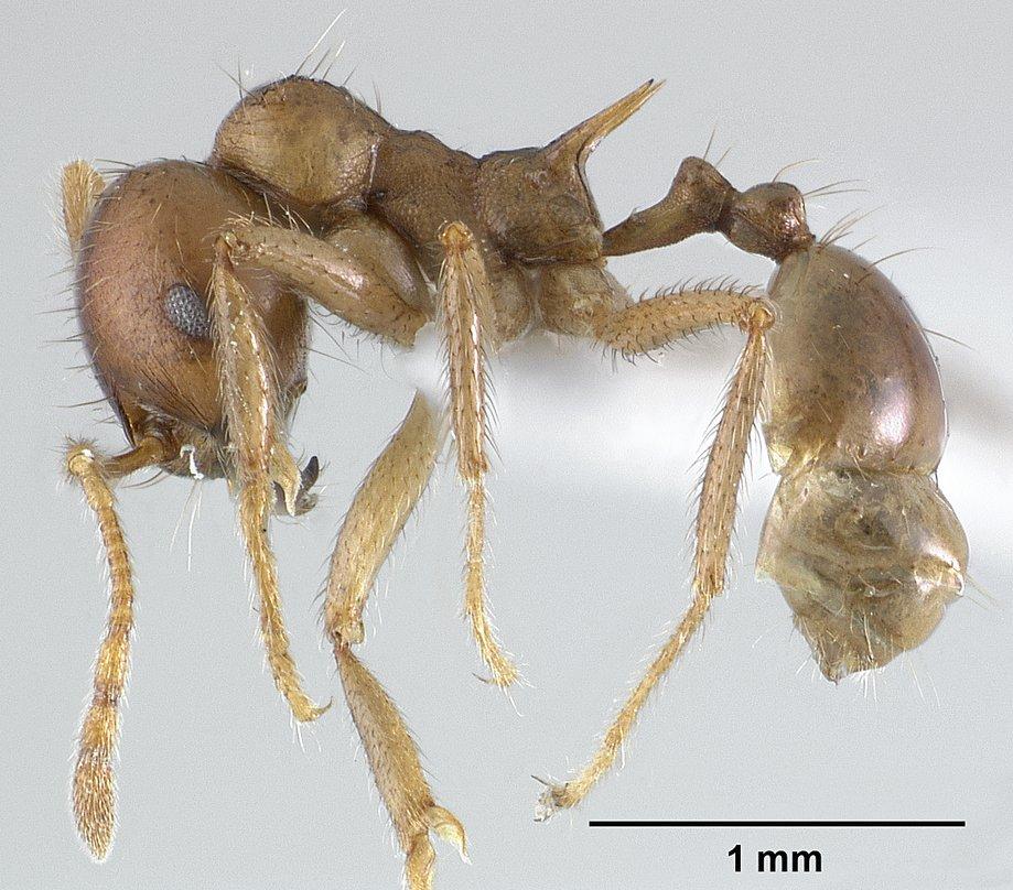 Image of Lophomyrmex longicornis