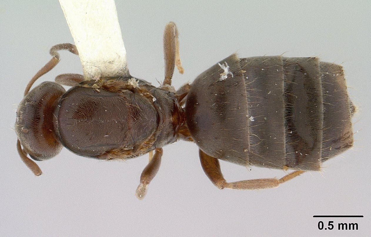 Image of Brachymyrmex laevis