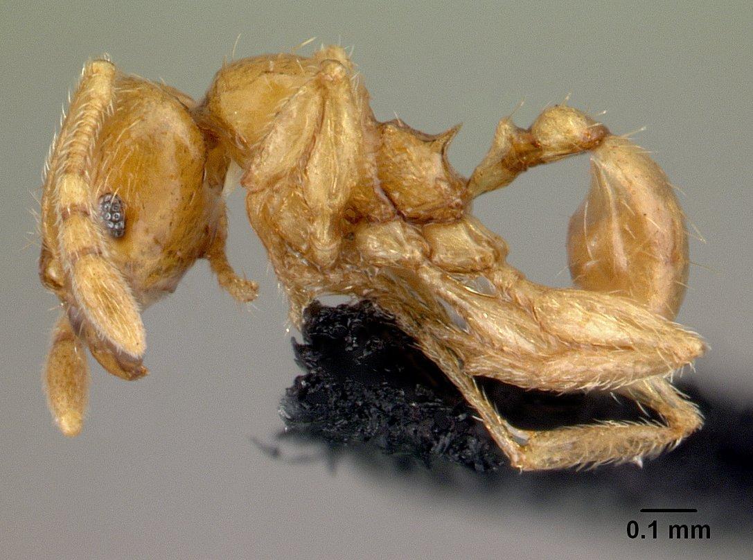 Image of Pheidole hortensis