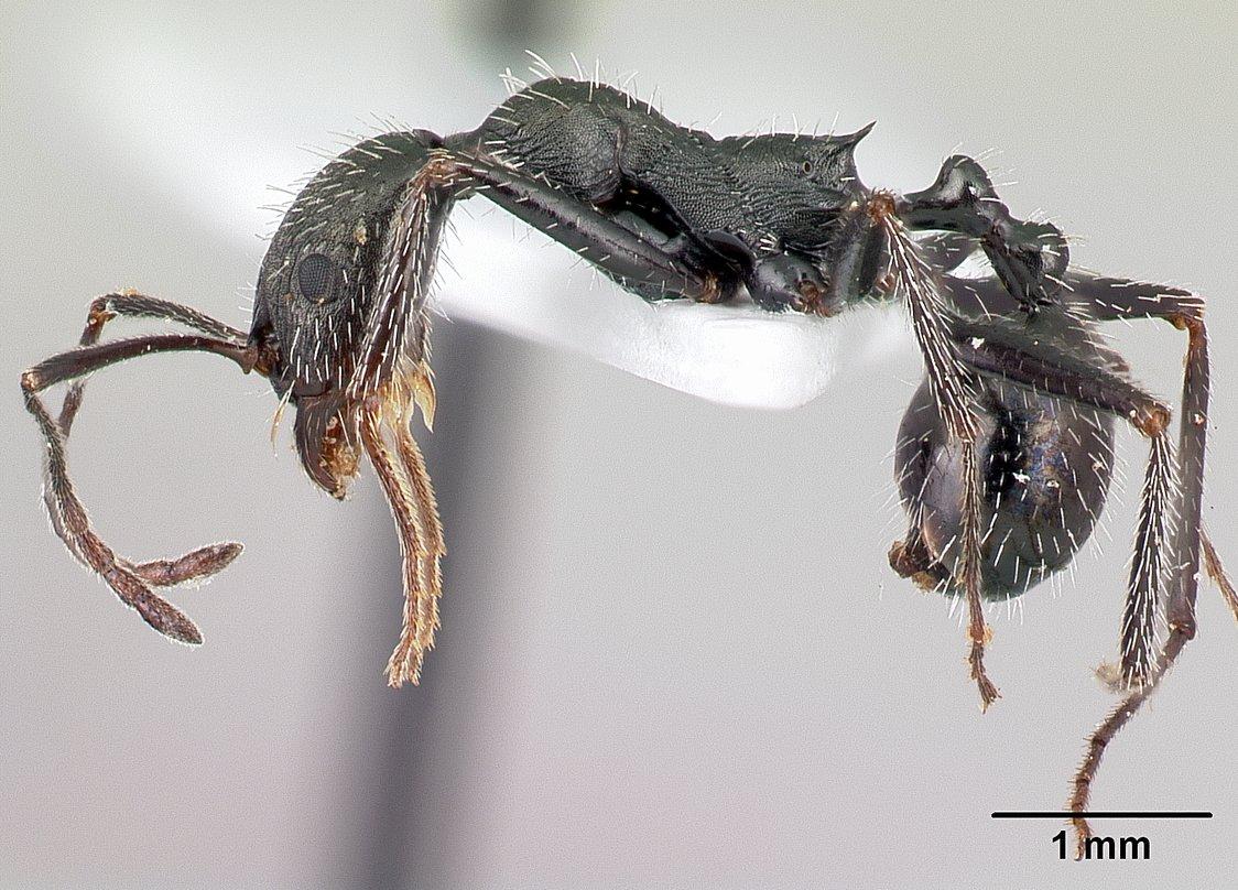 Image of Aphaenogaster simonellii