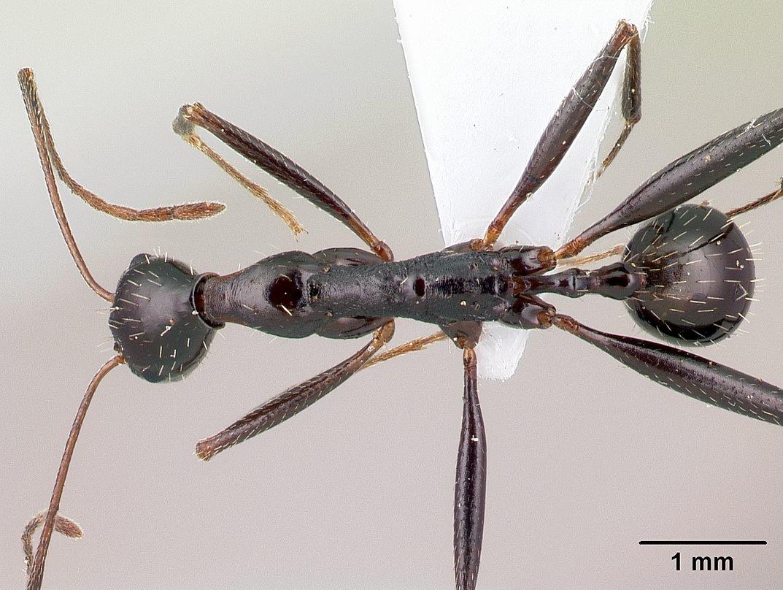 Image of Aphaenogaster cecconii