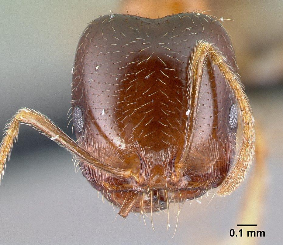 Image of Monomorium dentigerum