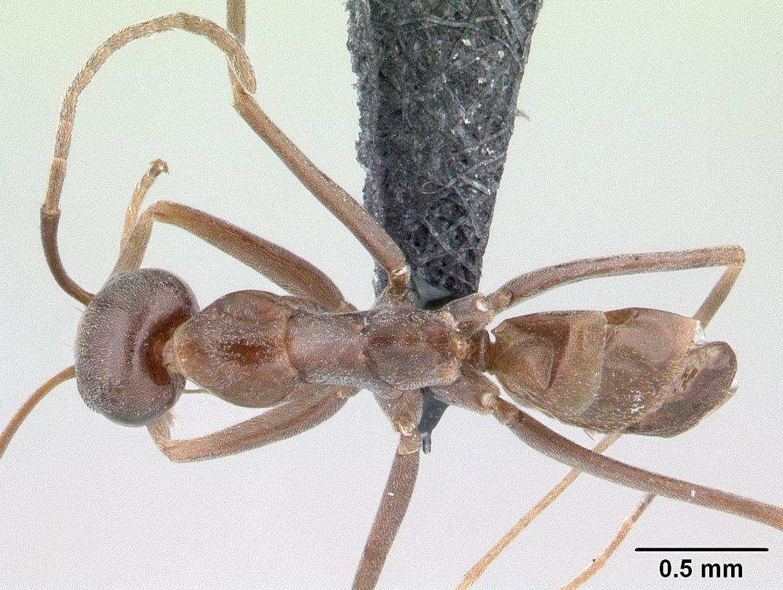 Image of Dorymyrmex goeldii