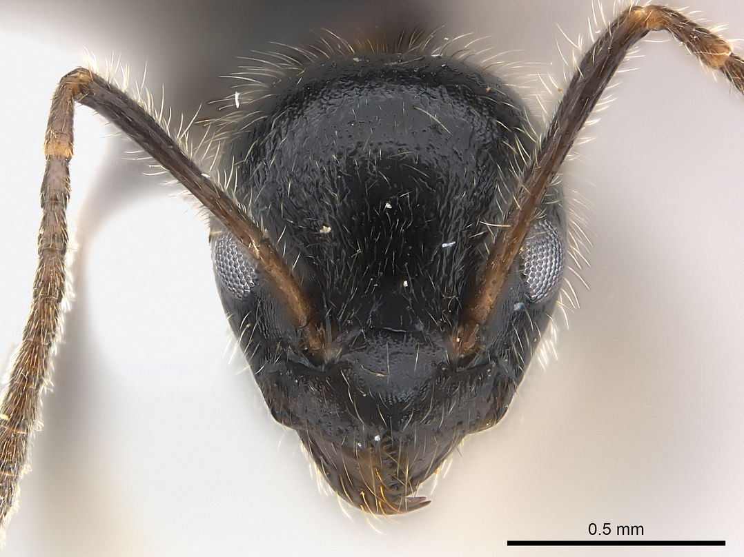 Image of Axinidris acholli
