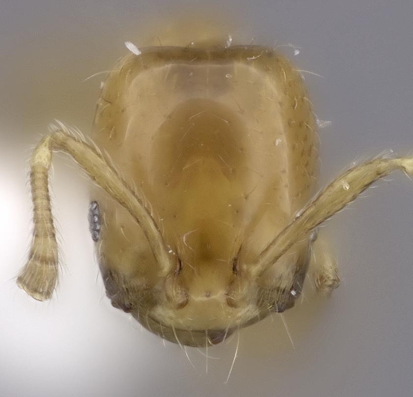 Image of Monomorium rotundatum