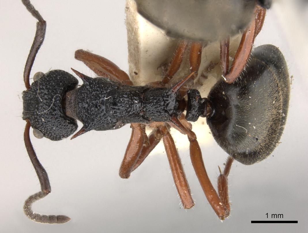 Image of Dolichoderus doriae