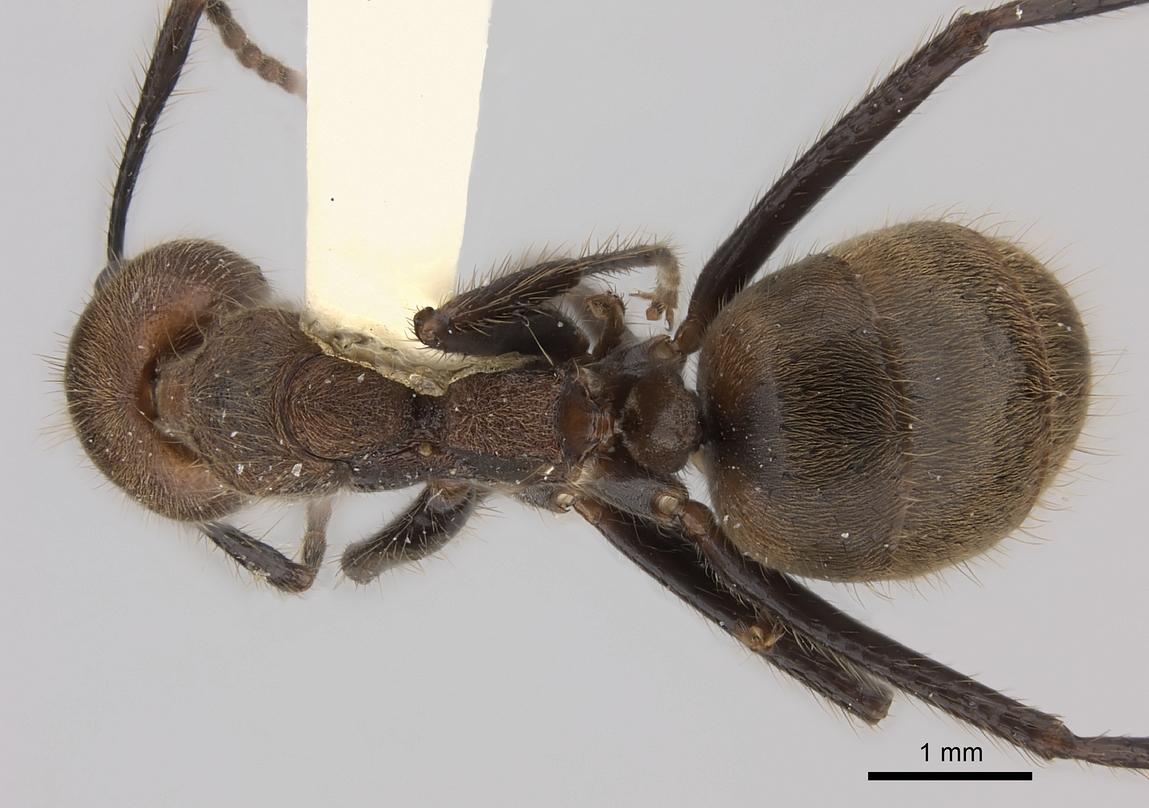 Image of Dolichoderus quadridenticulatus