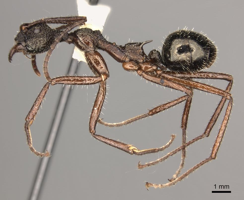 Image of Dolichoderus rosenbergi