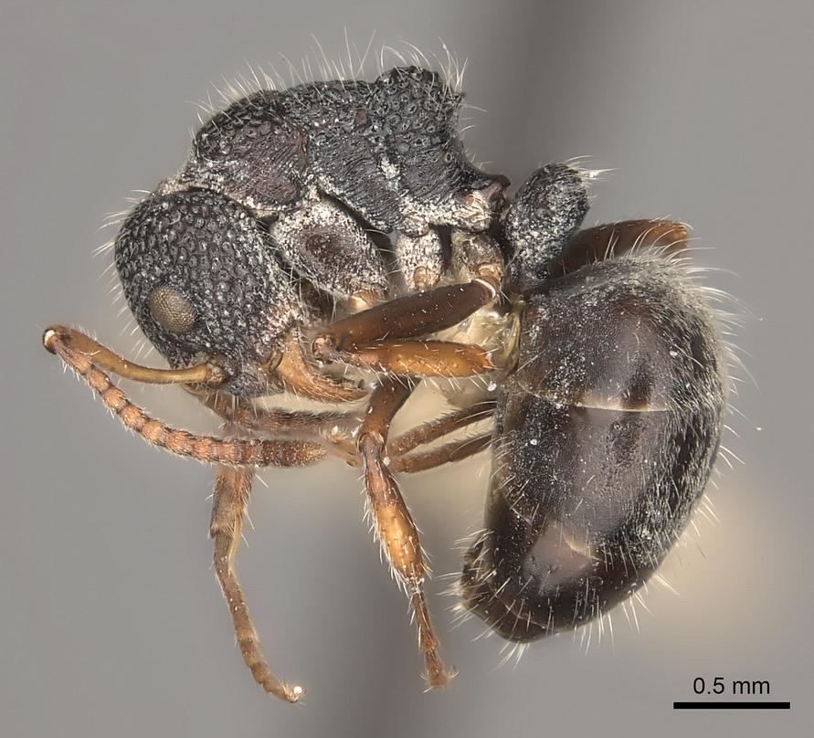 Image of Dolichoderus scrobiculatus