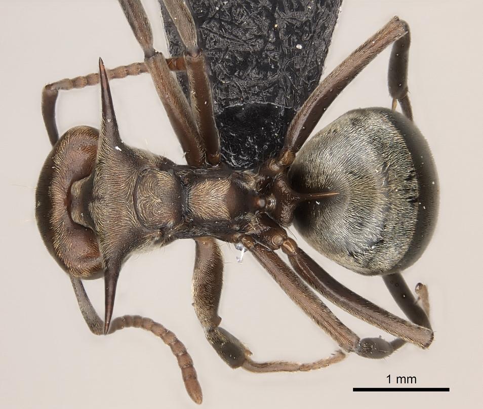 Image of Dolichoderus spinicollis
