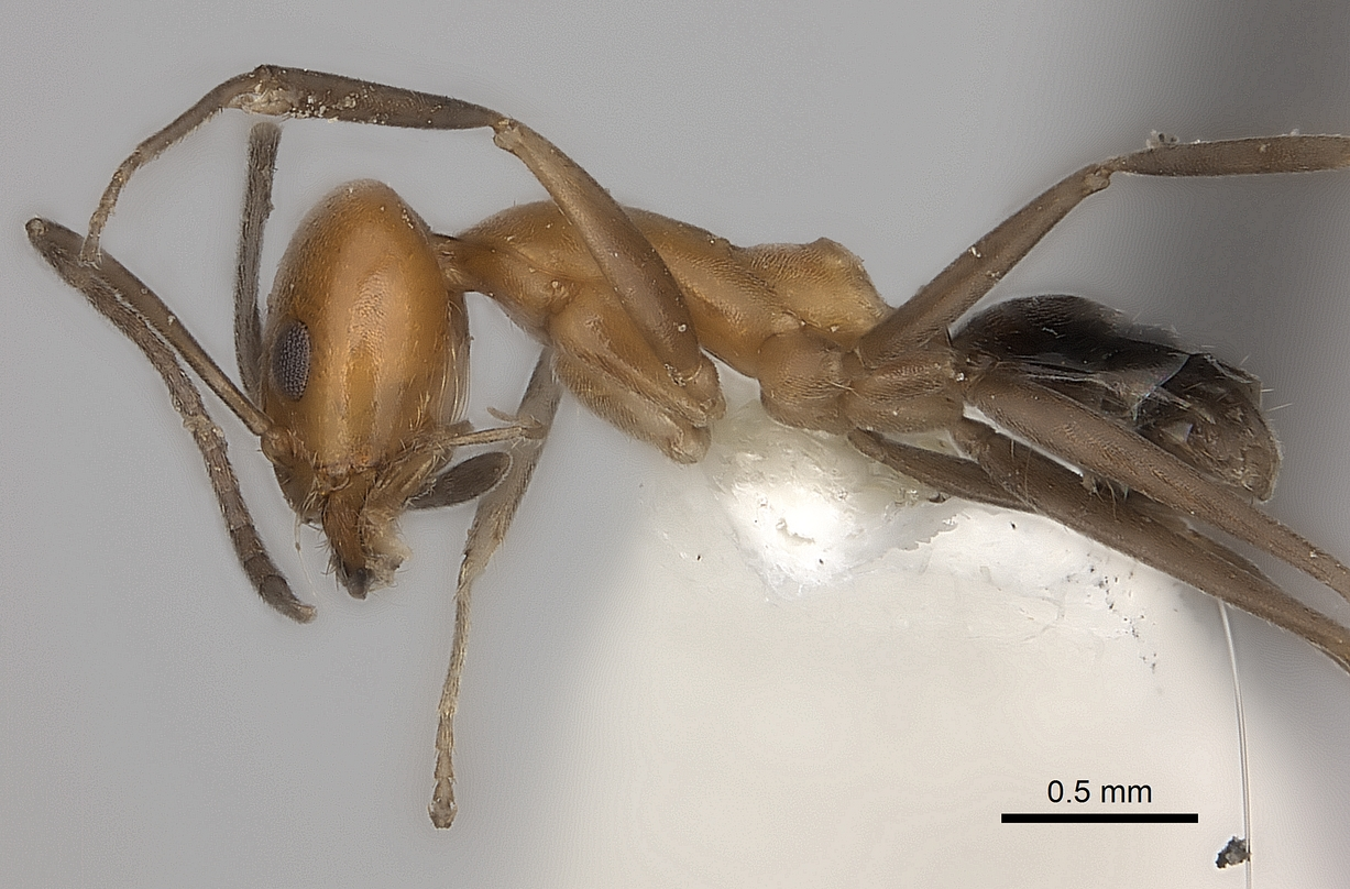 Image of Dorymyrmex chilensis