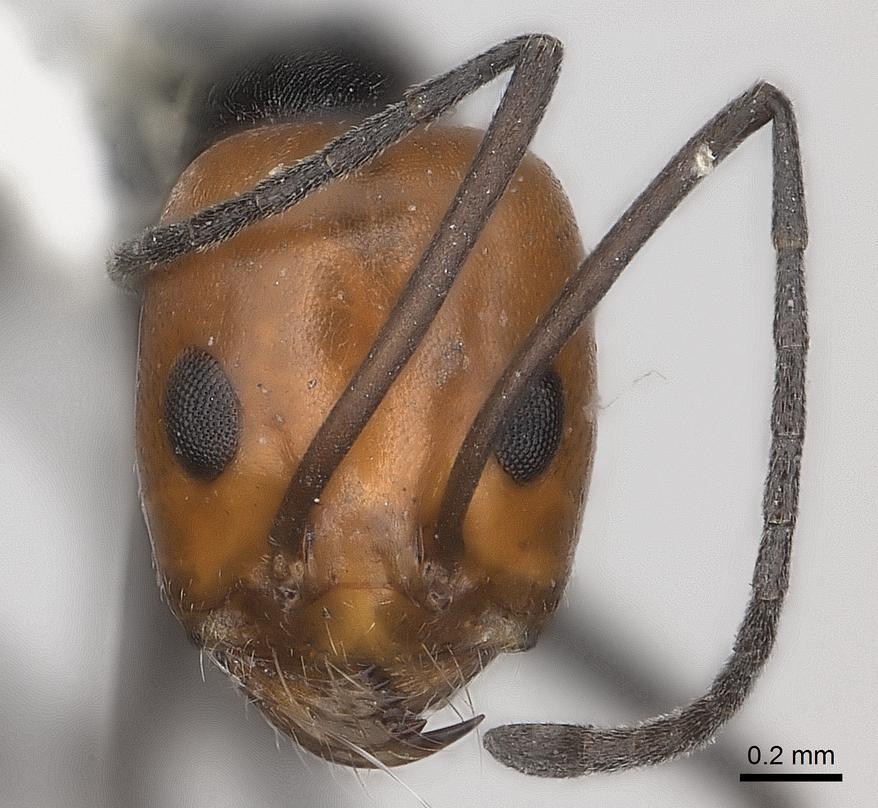 Image of Dorymyrmex tener
