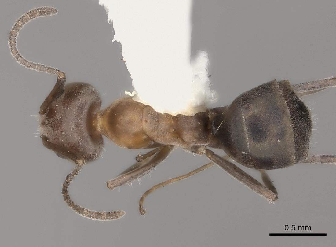 Image of Iridomyrmex chasei
